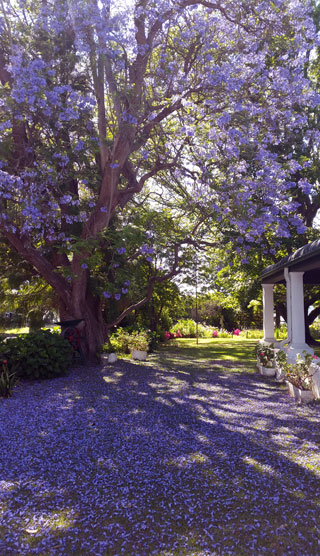 Barry House on Riverton in November - a purple rain of Jakaranda blossoms
